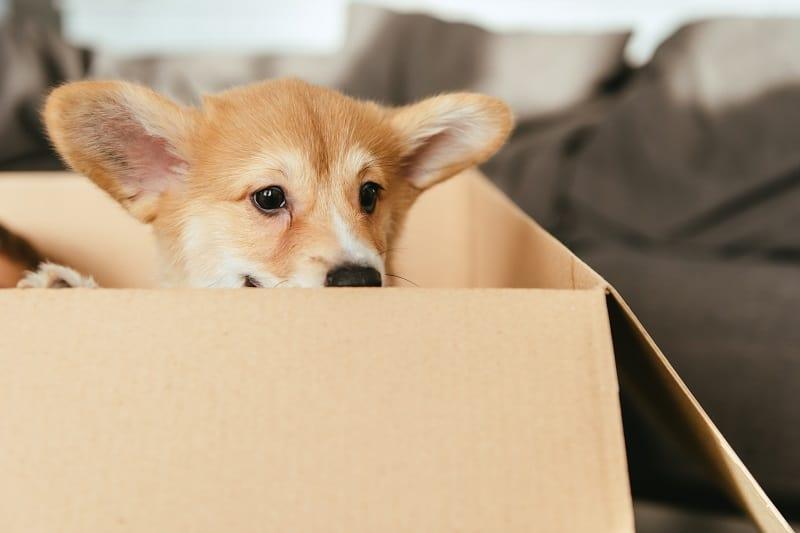 chiot assis dans boite de carton