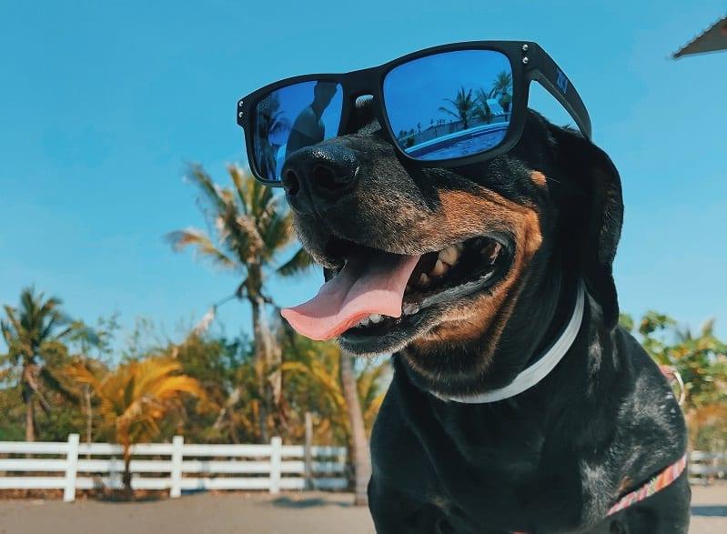 chien noir avec lunettes de soleil